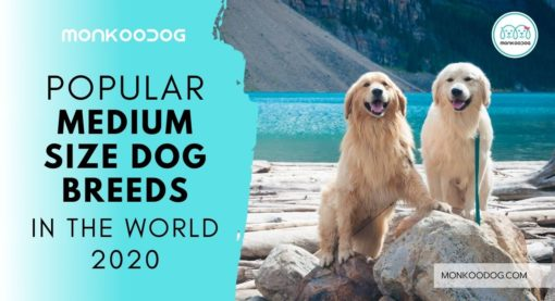 Popular Medium Sized Dog Breeds in the World 2020