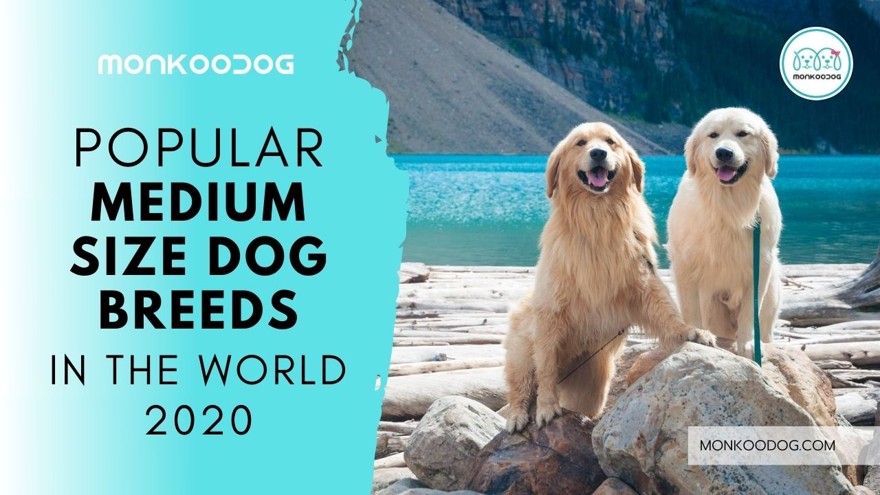 Popular Medium Sized Dog Breeds in the World 2020