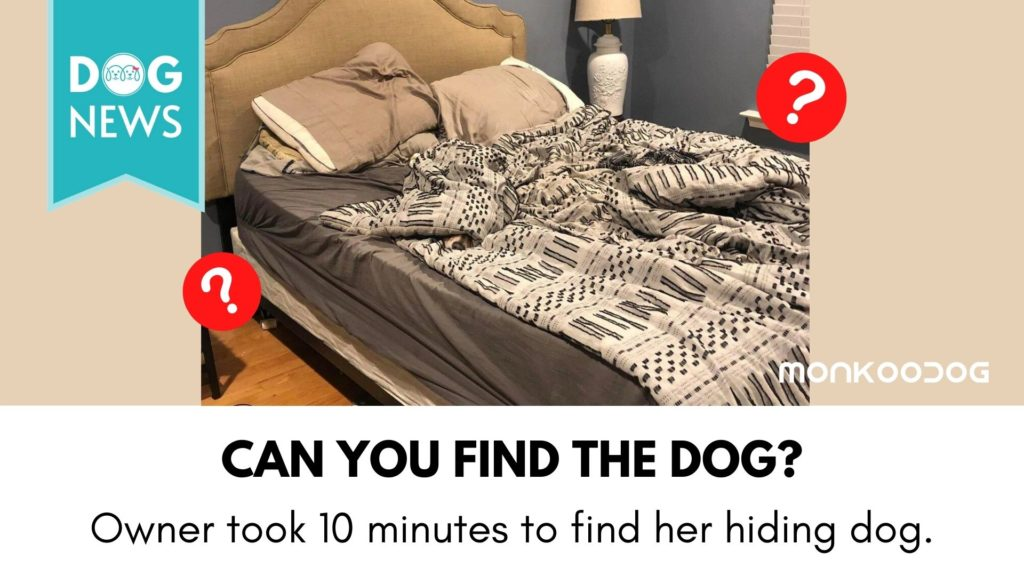 """Can you find the dog"" - The owner took 10 minutes to find her own dog hiding in plain sight."