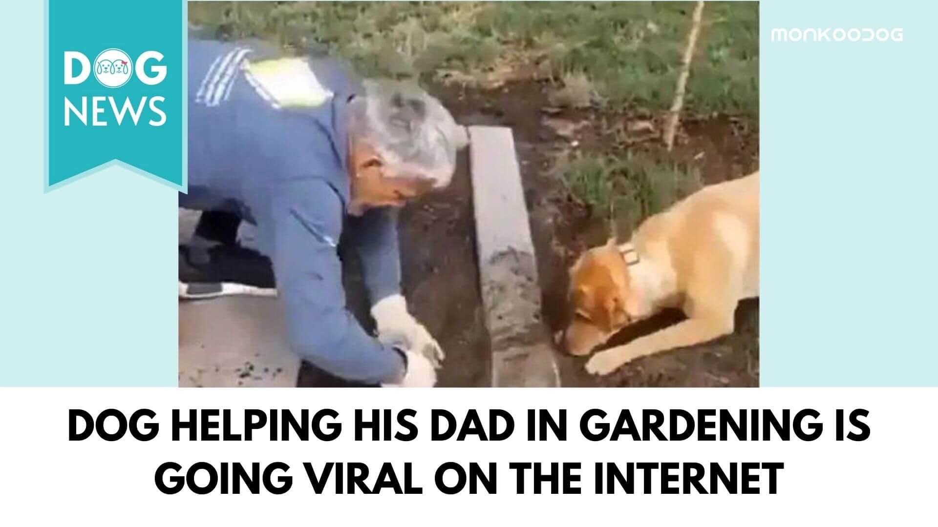 A Viral Video of a Pet Dog Helping his Human Dad in Gardening is a Trending dog news on the Internet.