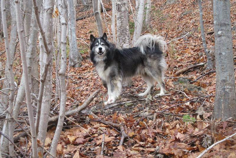 Cooper, an eight-year-old husky owned by the family of Arlene Fougere in Meat Cove