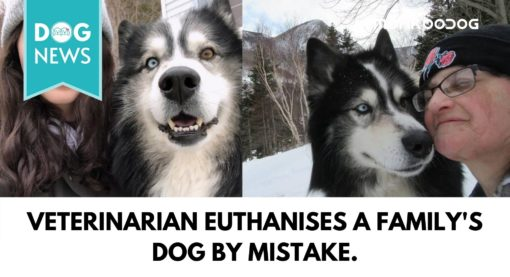 Eight years old Husky Mistakenly Euthanized by a Veterinary Clinic in Cape Breton