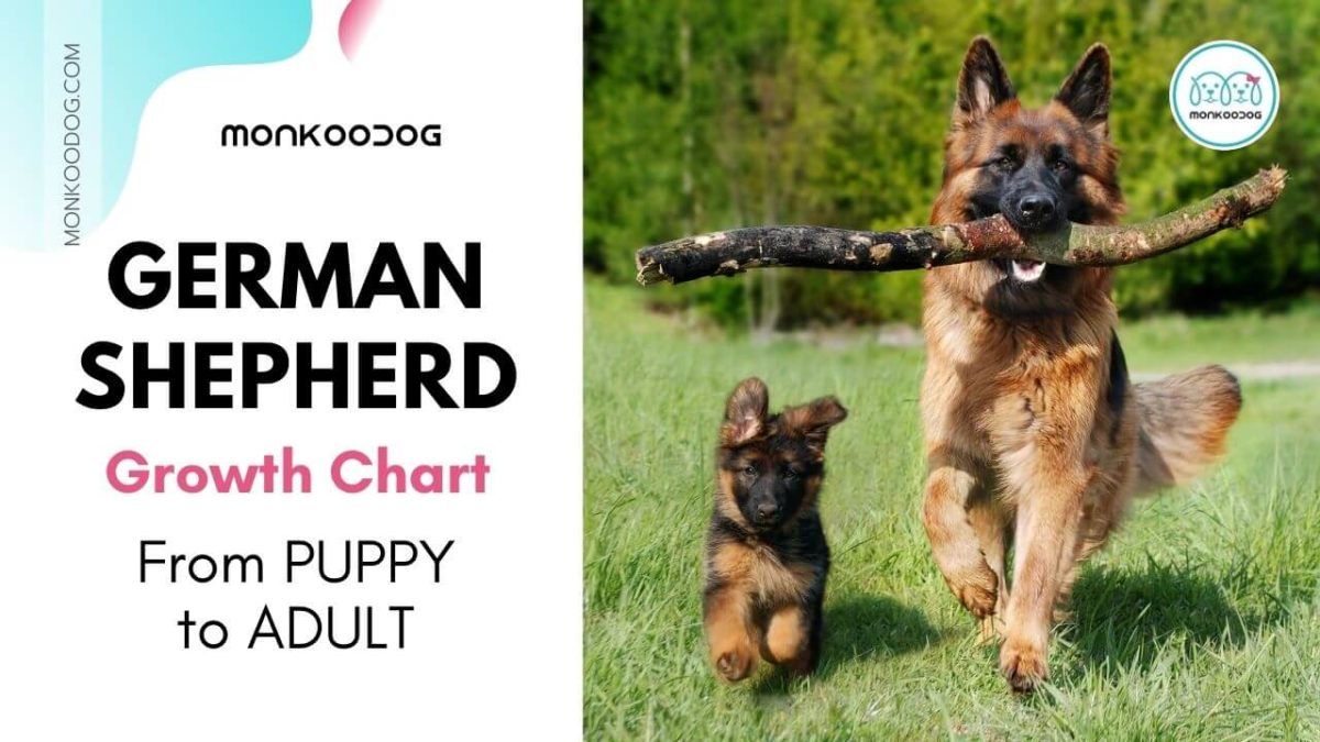 German Shepherd Growth Chart: Keep a Track on your Puppy's growth
