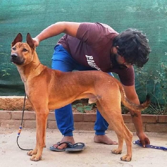 Kombai Dog