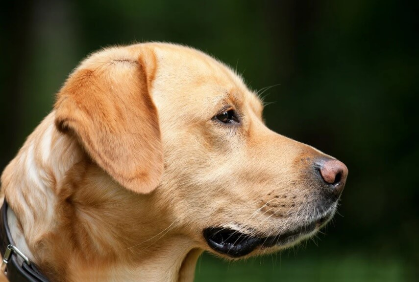 Won't you love for your Labrador to live longer?
