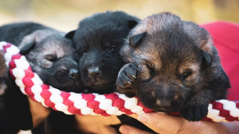 Newborn GSD puppies
