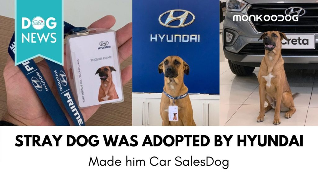 Stray Dog was adopted by Hyundai Showroom in Brazil. Made him Car Sales Dog