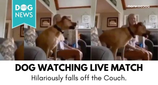 Viral Video of dog watching the match on television is a must-watch for anyone who is yet to have a pet