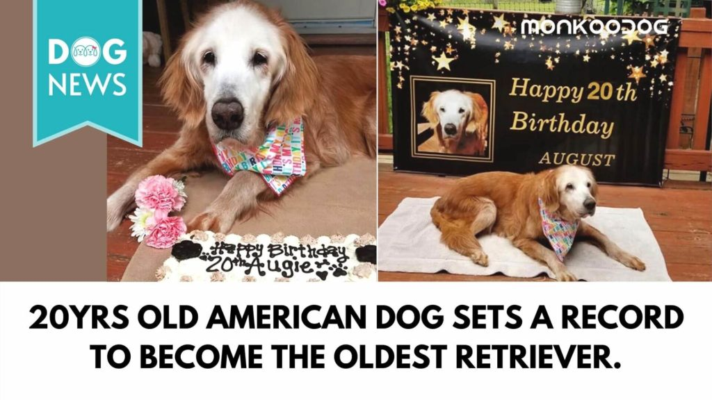 20yrs old American dog sets a record to become the oldest retriever.