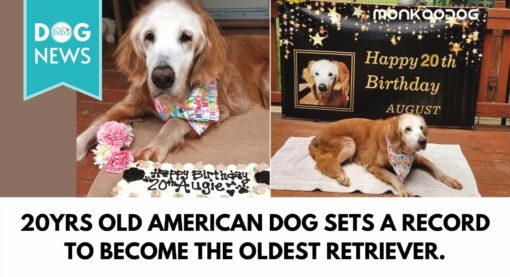 20yrs old American dog sets a record to become the oldest retriever to have ever lived