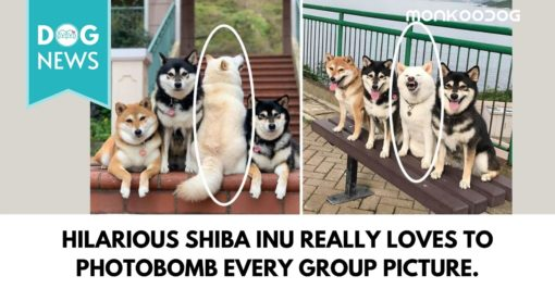 Hilarious Shiba Inu really loves to photobomb every group picture