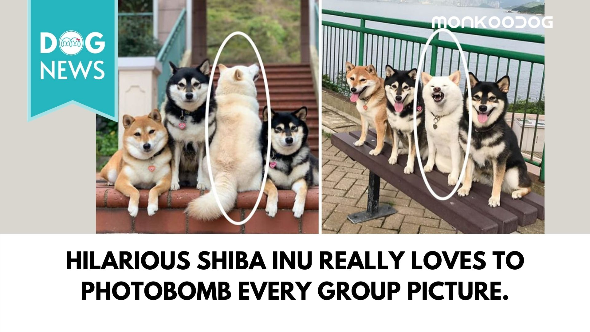 Hilarious Shiba Inu really loves to photobomb every group picture.
