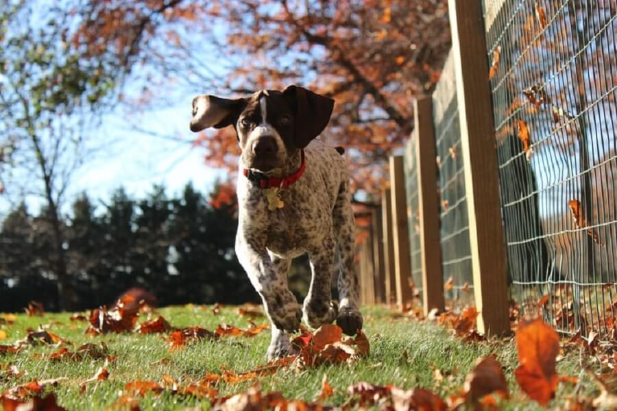 The Shorthaired Pointer