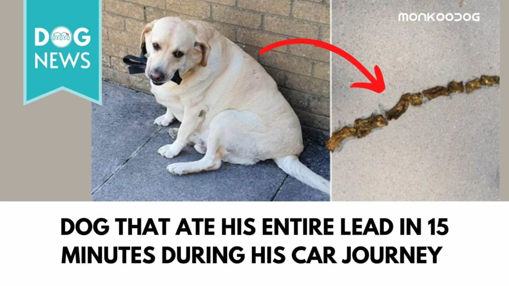 dog thatate his entire leadin15 minutes during his car journey