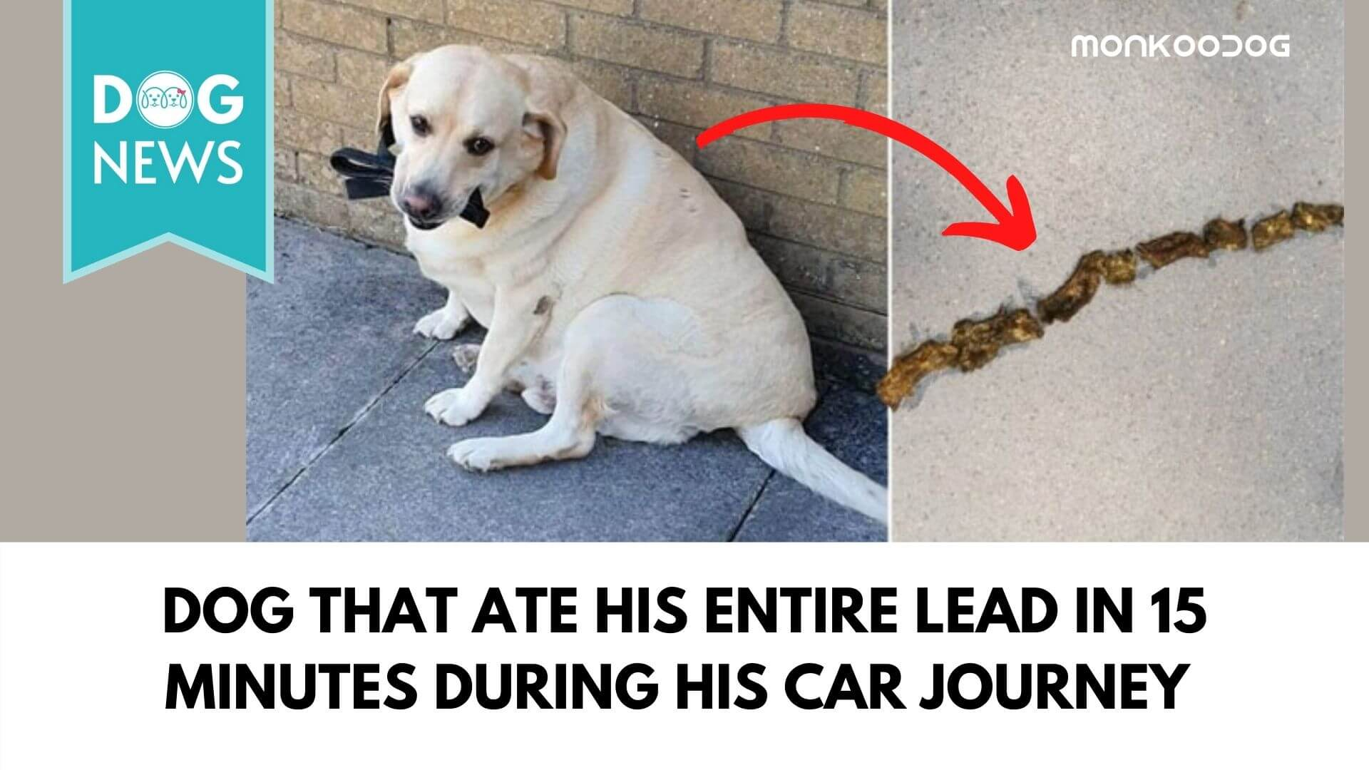 dog that ate his entire lead in 15 minutes during his car journey