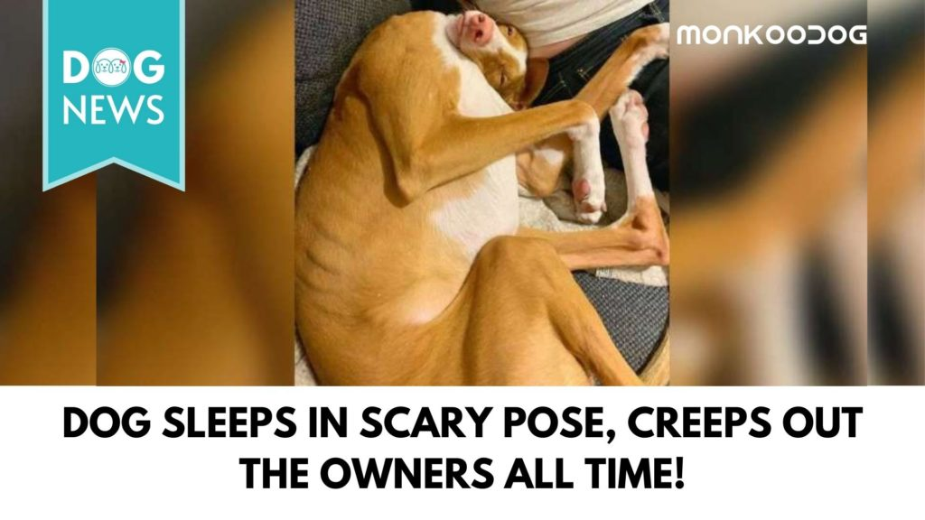 Dog Sleeps In A Funny Pose For Halloween