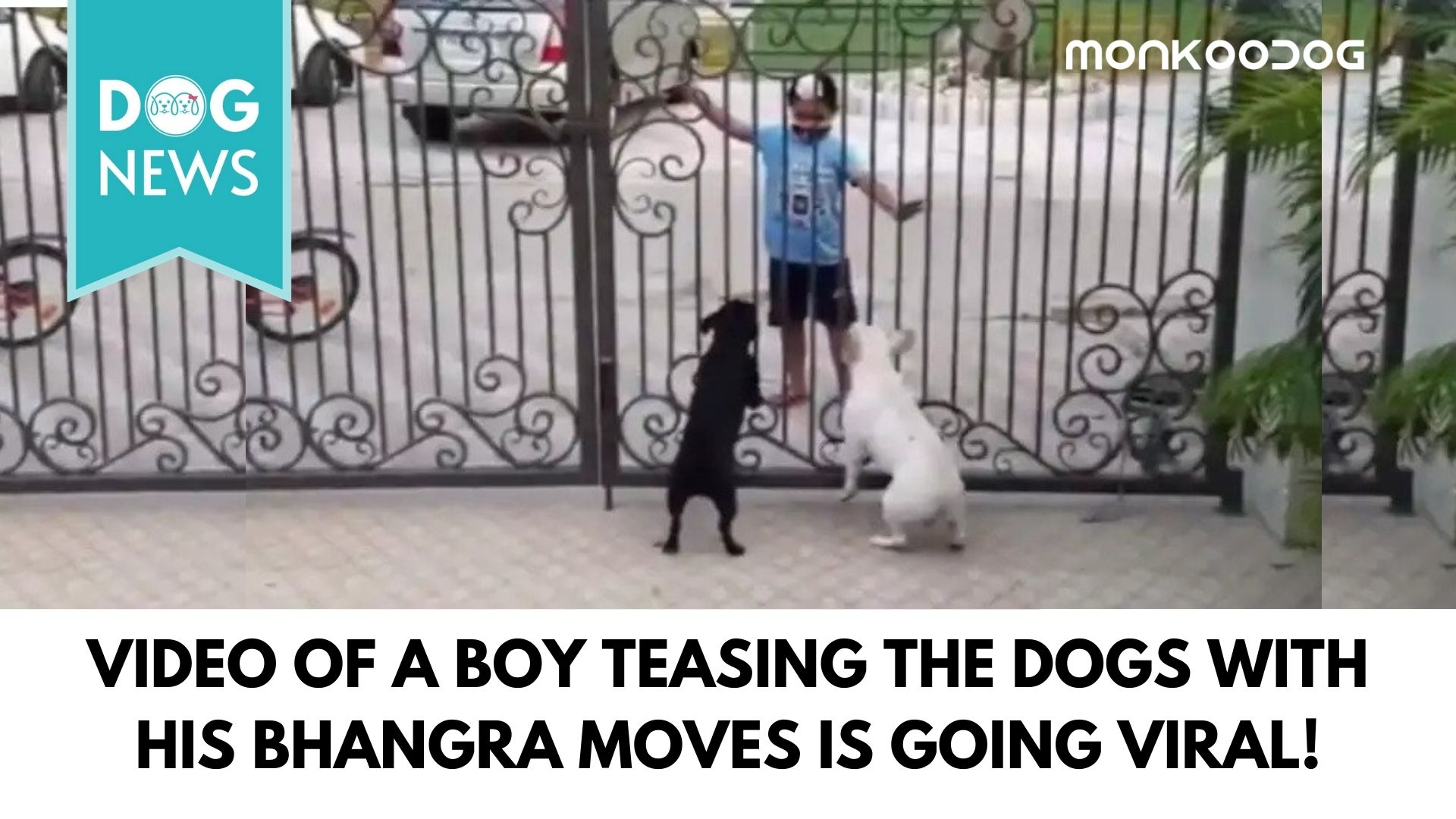 Dog's reaction made the video viral when a Sikh boy teases the dogs with his Bhangra moves