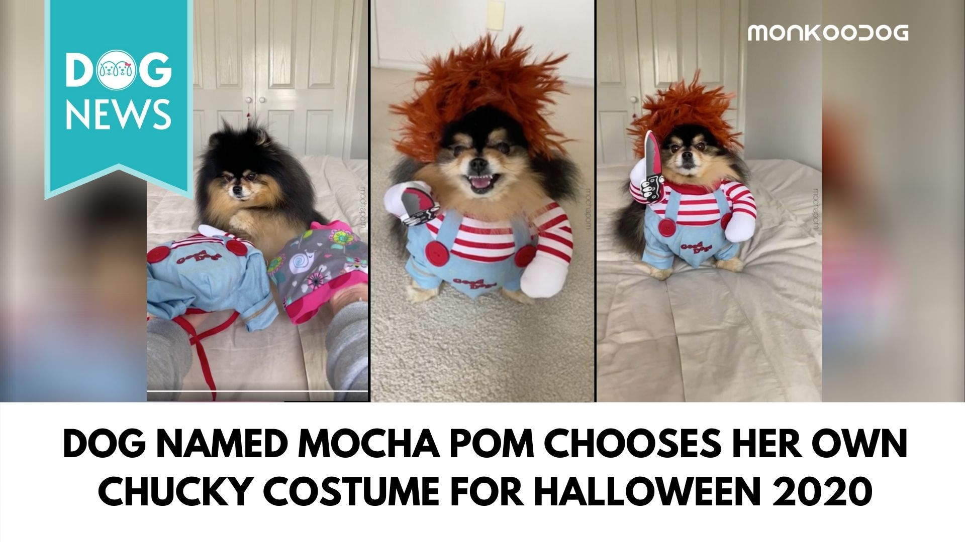 Halloween Enthusiast Dog Mocha Pom Selects Her Chucky Costume; Creates Ripples Of Laughter On The Internet
