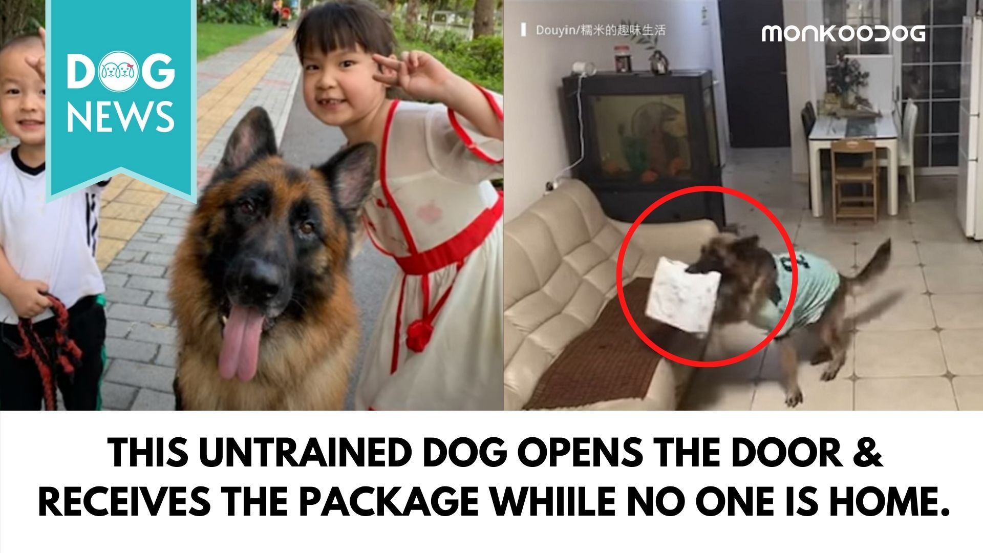 This untrained dog opens the door & receives to package when no one is home.