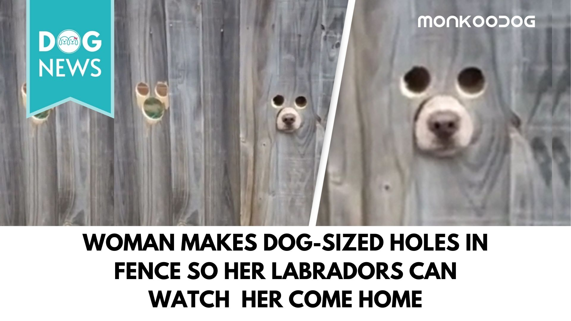 Woman Makes Dog-Sized Holes In Fence So her Labradors Can watch her come home