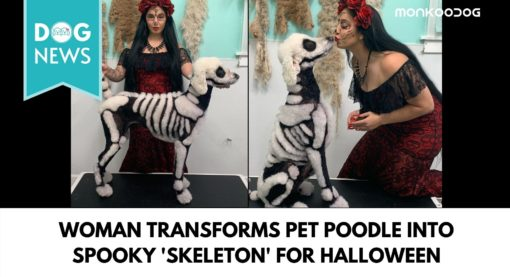 Woman Transformed Her Pet Poodle Into A Skeleton Amidst Rising Halloween Fever.