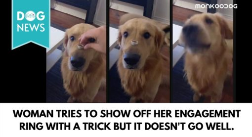 Woman Places Engagement Ring On Her Dog's Snout. Cute Trick Goes Horribly Wrong