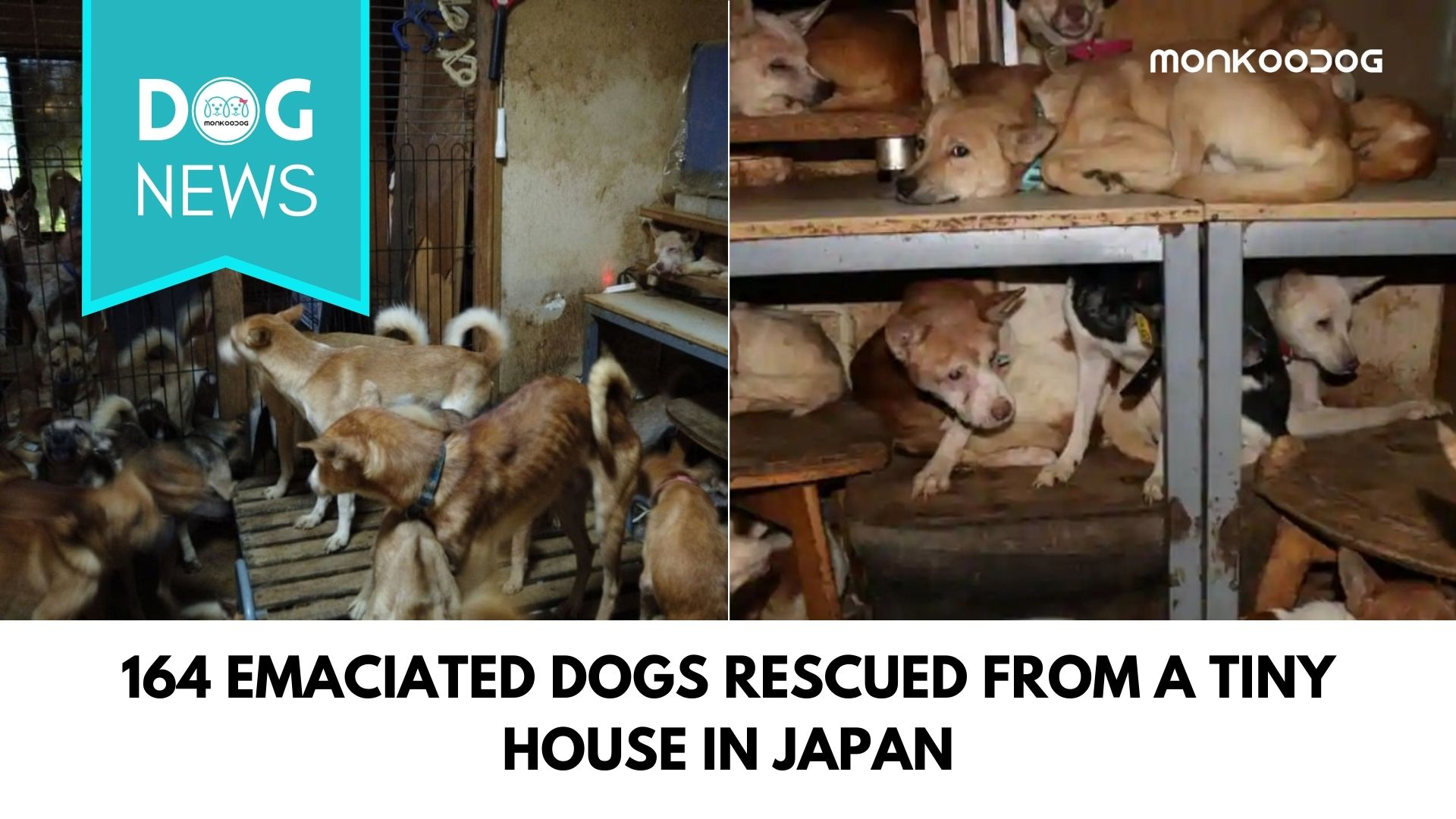 164 Emaciated Dogs Rescued From Extremely Unsanitary Condition From A Tiny Japan House.