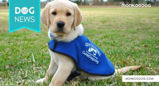 Gift Yourself With A future Guide Dog This Christmas From Southeastern Guide Dogs