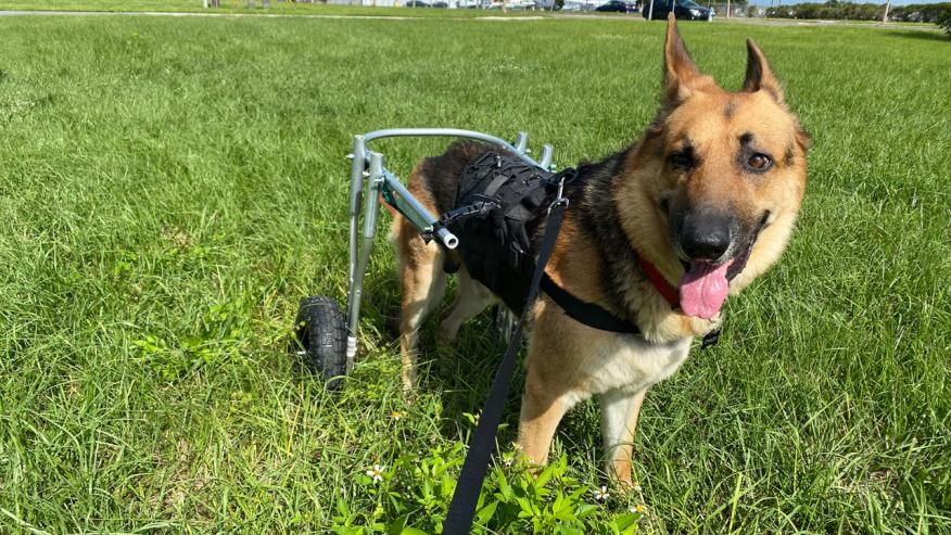 Manatee County rescue dog walking