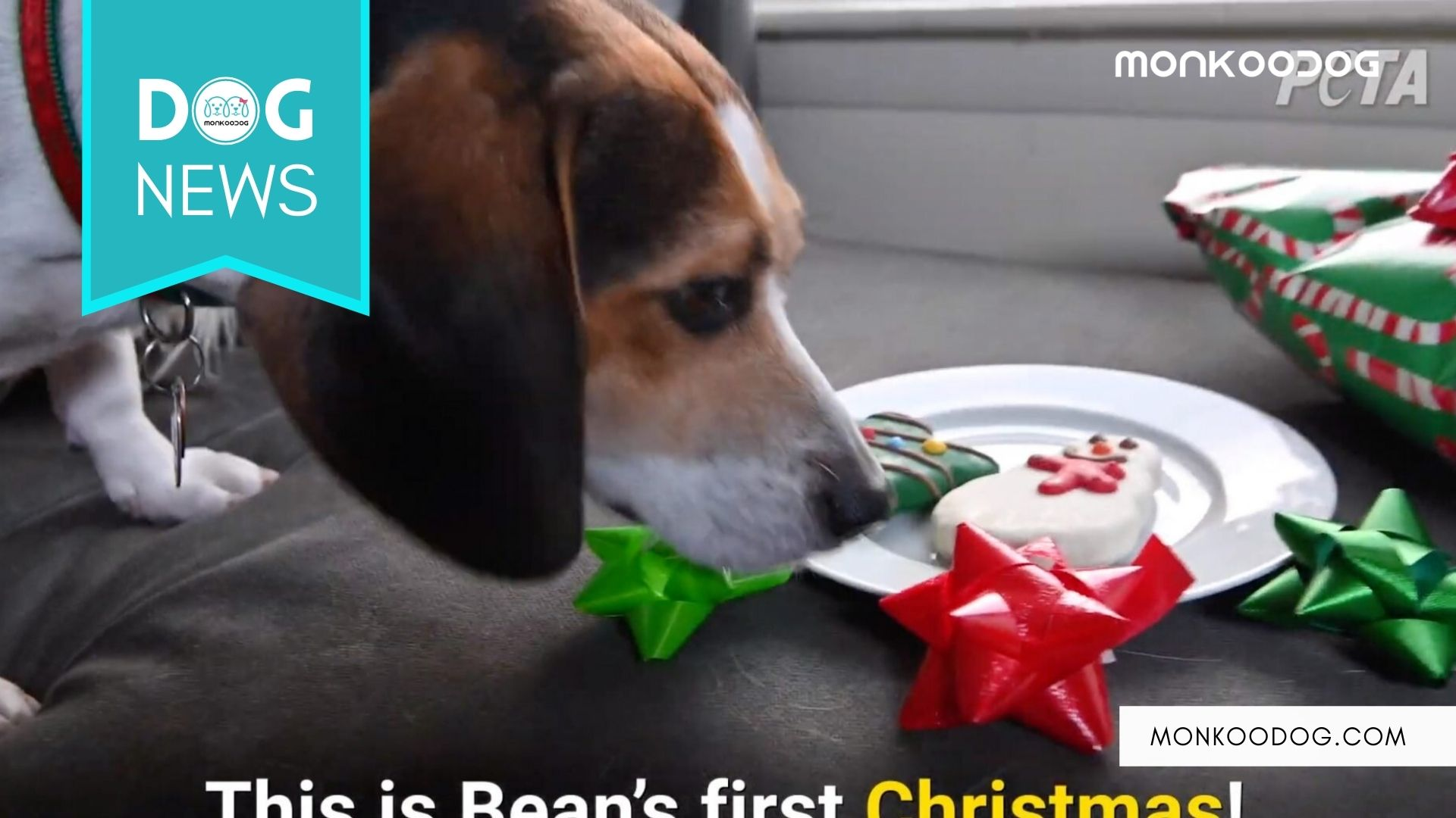 Bean Celebrates His Christmas With New Family After Being Locked Up in Pen For 3 Years.
