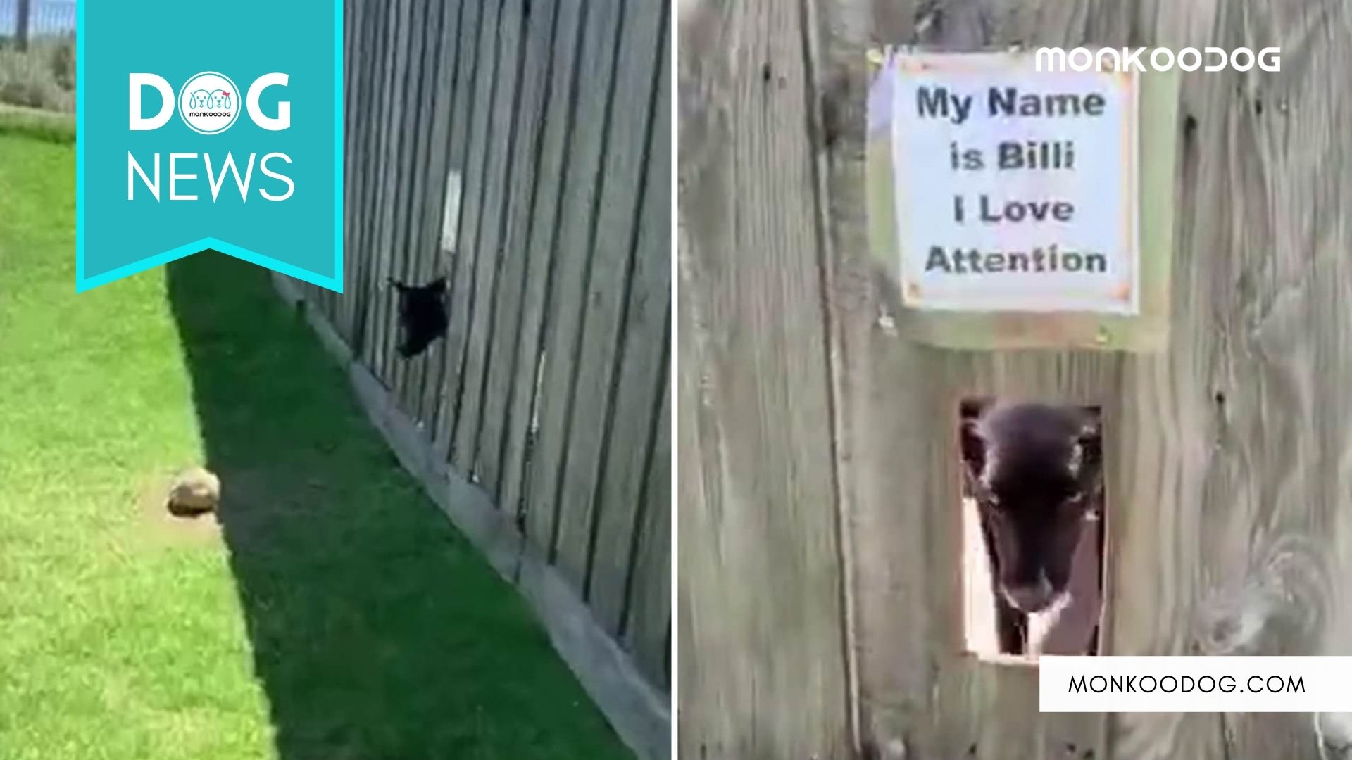 Dog Owner Creates Peep Hole For His Labrador Dog Named Billi Can Play With Passersby.