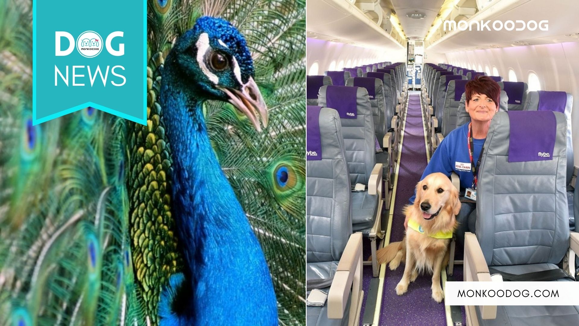 No More Pigs And Peacocks_ Only Dogs Will Travel As Emotional Support Animals On US Planes