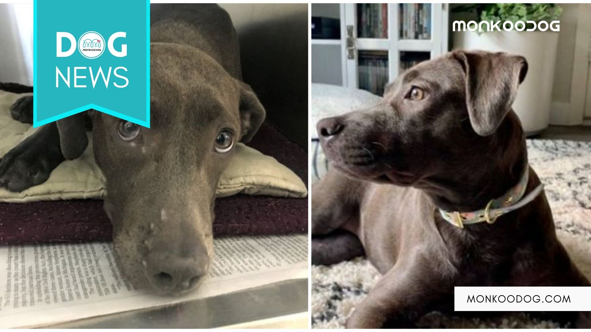 Shot For 70 Times And Hit By Car! Mighty Dog Gets Her New Furever Home
