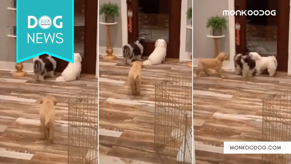 A Golden Retriever Puppy Playing Prank On His Other Pooch Siblings Is Hilarious To Watch