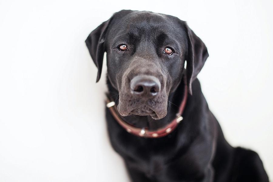 Labrador puppy aged above 15 months