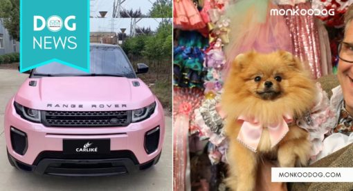 Meet The World's Most Pampered Pomeranian – Tallulah Who Owns A Pink Range Rover