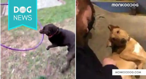 Viral videos of dogs in two separate incidences once again show how great companion they are to humans