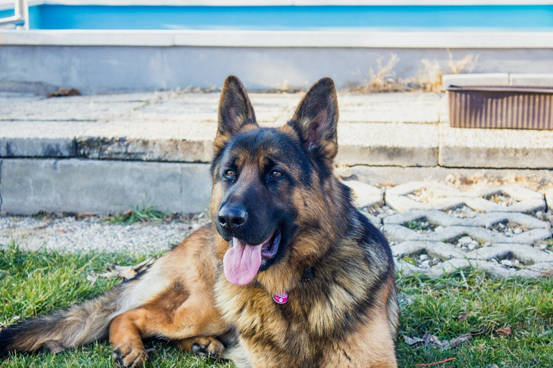 Best Dog Variety For Aries