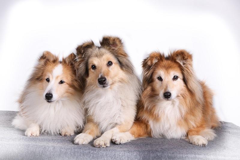 Best Dog Variety For Virgo