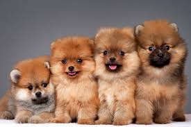 Decide If You Want A Puppy