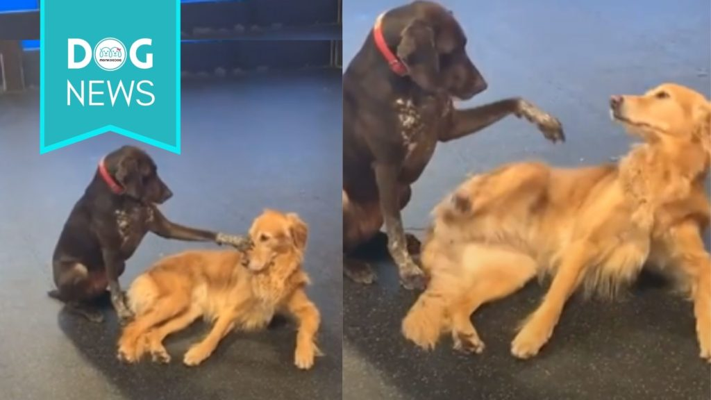 Dog sets the example as the perfect foster mom to other pets at doggie daycare with her unique Petting style