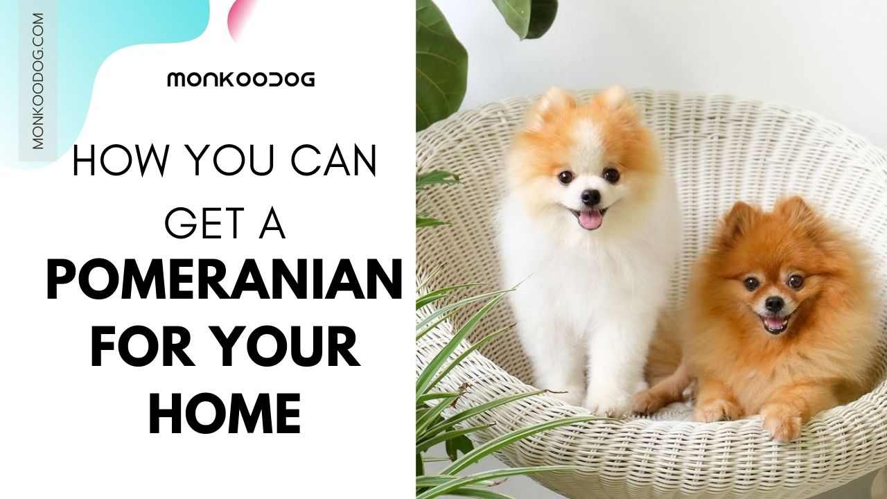 How You Can Get A Pomeranian For Your Home