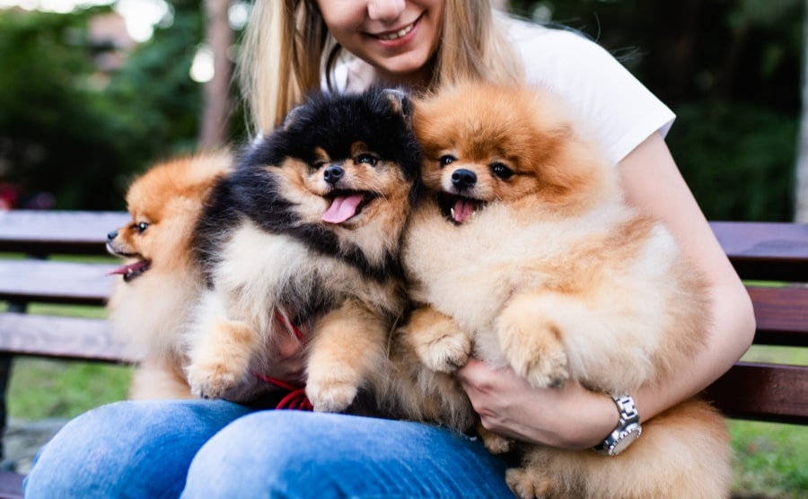 Make Sure Pomeranians Are The Best Choice For You