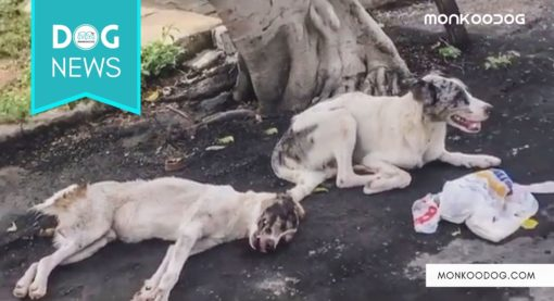 Stray dog in Brazil waits patiently for over 24 hrs protecting and guarding a fellow injured dog