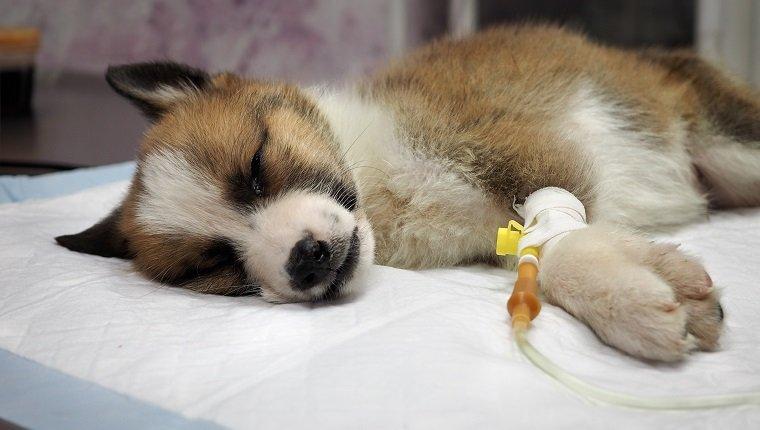parvovirus-in-dogs