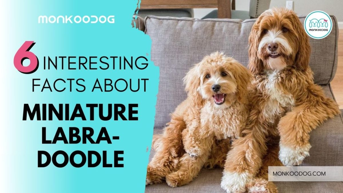 6 Interesting Facts About Miniature Labradoodle