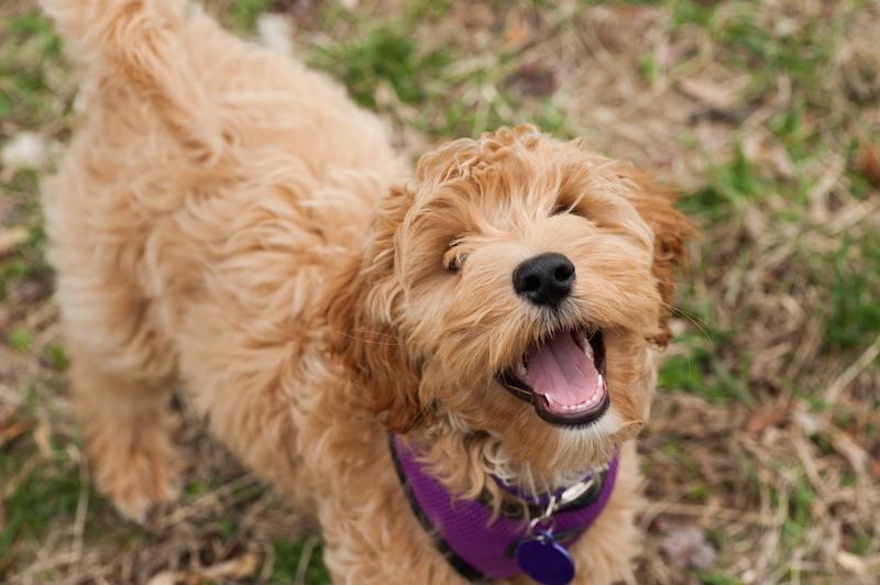 Mini-Labradoodle-dog