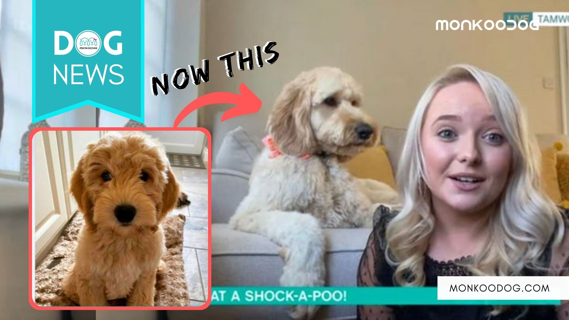DOG OWNER SHOCKED AS HER MINI COCKAPOO GROWS UP TO THE SIZE OF A BABY RHINO.