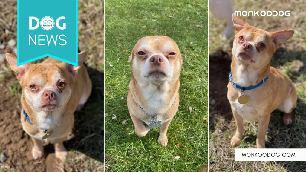 Meet Prancer, The 'Demonic' Chihuahua Going Viral For His Adoption Ad