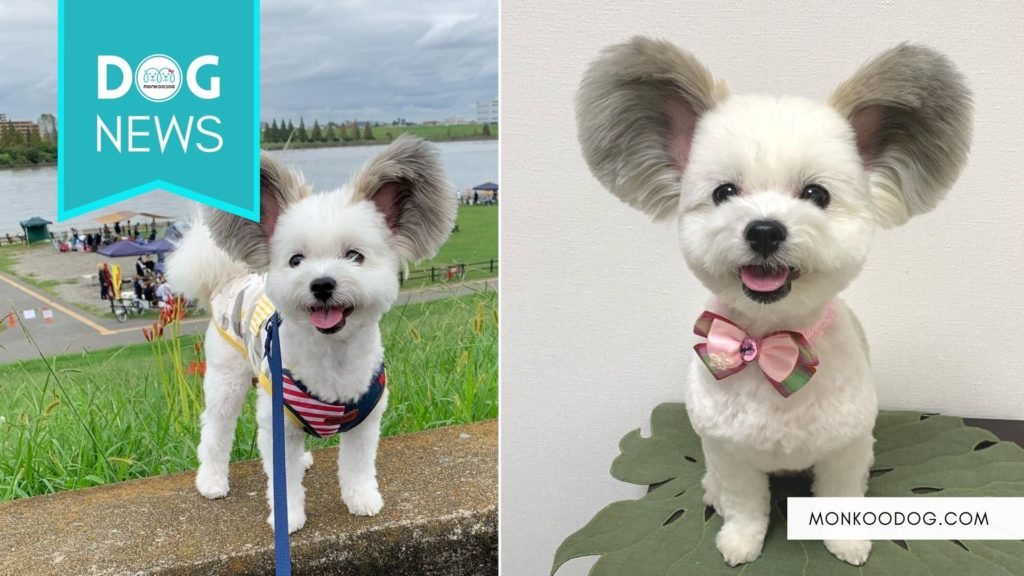 Mickey Mouse Ears On A Puppy - Meet Goma, The Cartoon Pup Who Has Been Stealing Hearts All Over The Internet